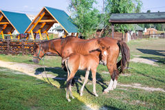 Little horse foal and its mother feed at green grass Stock Photos