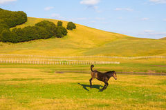 Little Horse Jumping On The Meadow Stock Images