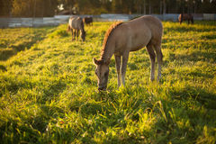 Little horse on a meadow Royalty Free Stock Photo