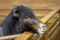 Little horse pony peeking from the enclosure Royalty Free Stock Image