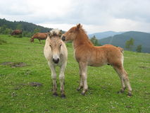 Little horse scratching Royalty Free Stock Photo