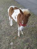 Little horse. In Serbia, Europe, Zajecar, lawn, herbage, sod, sward, wood Royalty Free Stock Photography