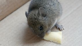 Little house mouse eating cheese in carton box. Little house mouse eating a piece of cheese in carton box stock video footage