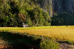 Little house in paddy field. Little house and paddy fields in ramang-ramang tourist destination in Maros, South Sulawesi, Indonesia Royalty Free Stock Photo