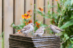 Little house sparrows at a garden fountain Stock Photos