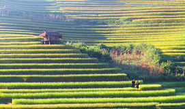 Little house on the terraces. Mu Cang Chai - Yen Bai - Viet Nam Stock Photography
