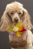 Little Huia Girl. Close-up of a dog dressed up as a hula dancer isolated on a gray background Stock Images