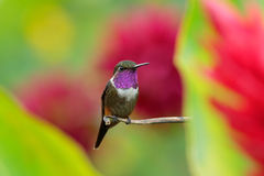 Little Hummingbird with coloured collar Purple-throated Woodstar, Calliphlox mitchellii, in the green and red flower, Colombia Royalty Free Stock Image