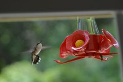 Little Hummingbird Fluttering For A Perfect Landing royalty free stock photos