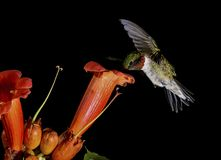 A little Hummingbird and trumpet vine flower. A little male Ruby-throated Hummingbird and a Ttrumpet vine flower. Hummingbird hovering and feeding Royalty Free Stock Photos