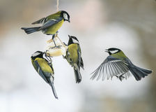 Little hungry birds Tits on the bird feeder eating fat Royalty Free Stock Photo