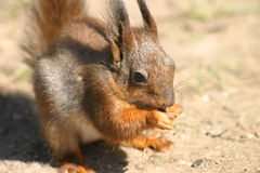 Little hungry squirrel Stock Photo