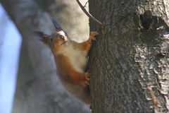 Little hungry squirrel on the tree Royalty Free Stock Images