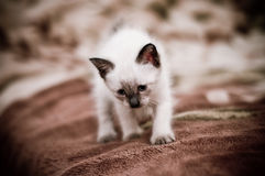 Little hunter. Pretty kitten go hunting step by step Royalty Free Stock Photos
