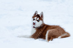 Little husky with blue eyes laying on the snow Royalty Free Stock Images