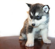 Little husky royalty free stock photography