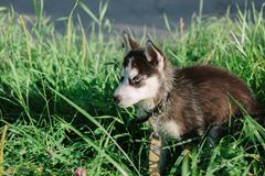 Little husky puppy on the grass. At green park Stock Photo