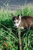 Little husky puppy on the grass. At green park Royalty Free Stock Image