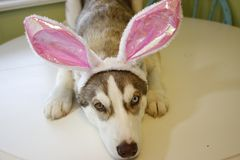A little Husky puppy that looks like he just painted some Easter eggs wearing Bunny ears. stock photo