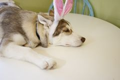 A little Husky puppy that looks like he just painted some Easter eggs wearing Bunny ears. royalty free stock photography