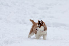 Little husky in the snow Royalty Free Stock Photo