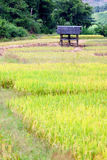 Little hut in rice field . Stock Images