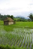 Little hut in ricefields. It's a view of young watered ricefield with a little hut in Bali island royalty free stock photography
