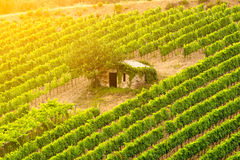Little hut among vineyard Royalty Free Stock Photo