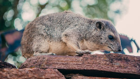 Little Hyrax Stock Image
