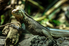 Little iguana Royalty Free Stock Images