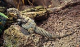Little iguana Stock Image