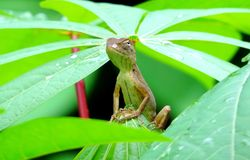 Little iguana or lizard peeking out of the vegetation stock photo
