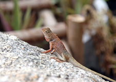 Little iguana on a stone Royalty Free Stock Photography