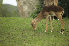 Little impala. A young antelope eating some grass stock images