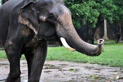 Little indian elephant close-up Royalty Free Stock Image