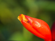 Little Insect in The Red Wild Ginger Flower Stock Photo