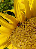 The little insect sitting on a yellow flower royalty free stock photos