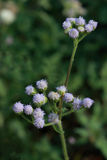 Little Iron Weed. There are flowers of little iron weed Stock Photography