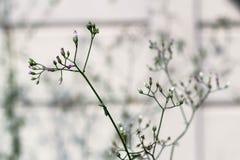 Little ironweed, Ash-coloured fleabane or Purple fleabane. royalty free stock photos