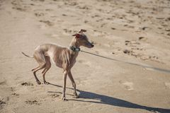 Little italian greyhound dog in the beach Royalty Free Stock Photo
