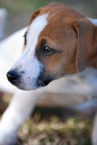 Little Jack Russell Stock Photos