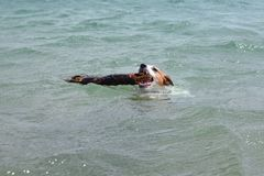 LITTLE JACK RUSSELL DOG SWIMMING WITH A BIG STICK IN ITS MOUTH I stock photography