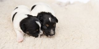 Little Jack Russell puppy dogs 14 days old lie side by side on a blanket in front of white background. Little cute Jack Russell puppy dogs 14 days old lie side royalty free stock images