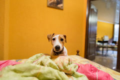Little jack russell terrier on bed Stock Images