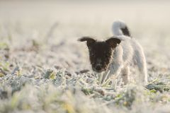 Little tricolor animal child in hoarfrost on a white meadow stock images