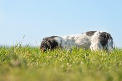 Little Jack Russell Terrier dog is tracking a trail and has his nose on the ground in the tall grass ind front of blue sky royalty free stock images