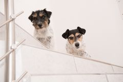 Little Jack Russell Terrier dogs are sits on a stairs and looks forward royalty free stock images