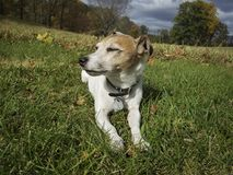 Little Jack Russell Terrier Dozing in the Sun. A Jack Russell Terrier dozing off after a long day of hunting in the fields royalty free stock image