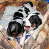 Little Jack Russell Terrier Puppies Stock Photography