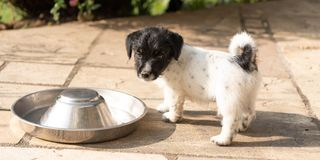 Little cute Jack Russell Terrier puppy dog is standing next to his empty food bowl looking towards camera stock photos